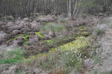 Weiße Wollgrasblüte im Moorgebiet