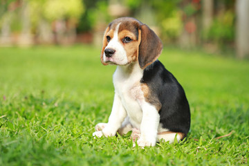 purebred beagle dog looking for somthing, searching and resting in  lawn at home