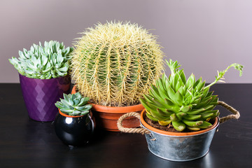 Still life with cactus/ Four different cactus small and large with needles in pots on a black background.