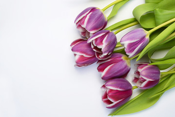 Purple tulips arranged on a empty copy space white background isolated