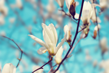 Magnolia flowers blossom in the spring.