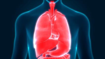 Human Body Organs Anatomy