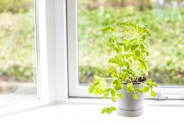 Basil herb in fresh green colors