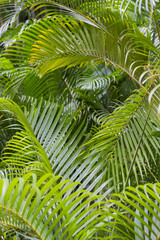 Jungle background of delicate green fronds of a palm plant