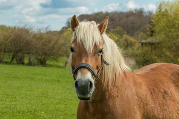Pony auf einer Wiese
