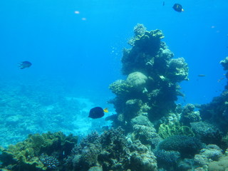 coral underwater sea blue reef