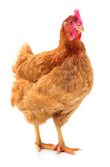 Brown hen isolated.