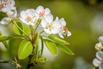 Frühling - Obstbaumblüte, Bine auf einer Birnenblüte