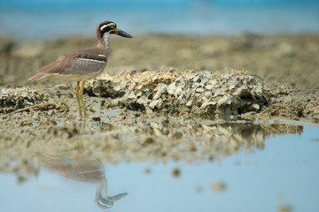 Wonderful bird.Beach Thick knee (Esacus neglectus) standing on the reef while the tide is low.