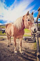 vertical Photo depicts beautiful lovely brown and white horse gazing on a horse yard. Close up, blurred background, good sunny weather.