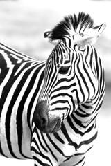 Door stickers Zebra Zebra Portrait