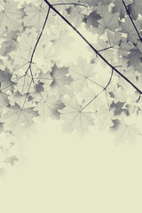 branch of the Maple tree, sepia color photo