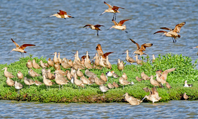 Flock of Sandpipers in a sandpipers island