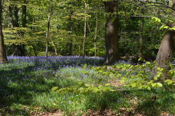 Bluebell forest trail