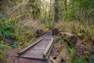 Wooden bridge on a background of the rain forest. Hoh Rain Forest, Olympic National Park, Washington state, USA