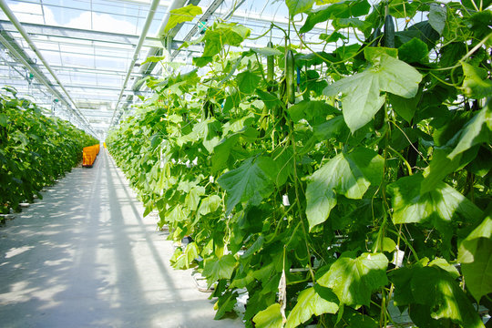Tasty organic green cucumbers growth in big Dutch greenhouse, everyday harvest