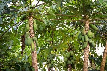 Plantation with papaya trees