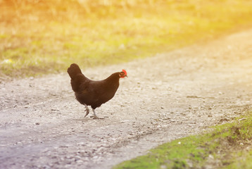 business black hen crossing the road in the village of Sunny day