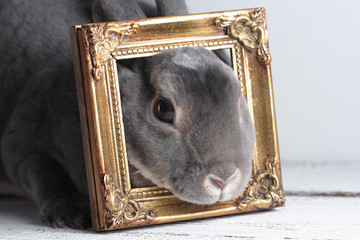 gray mini rex bunny with face in picture frame