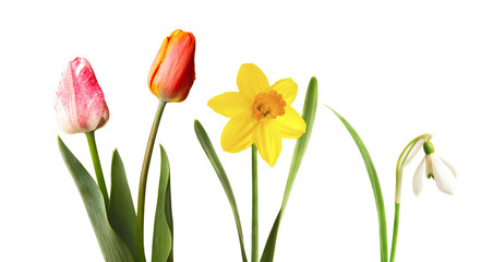 Red and pink tulips, yellow narcissus and snowdrop, isolated on white background