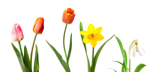 Red tulips, yellow daffodil and snowdrop, isolated on white background