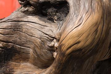 le gros tronc tordu d'un arbre