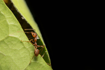 Close-ups Red ant on the tree