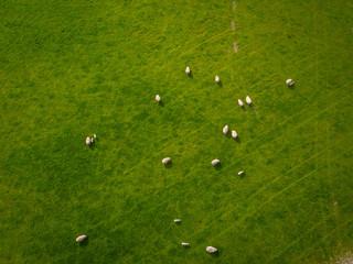Herd Of Sheep in green field Aerial