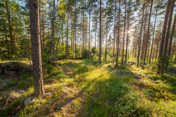 Forest in Finlad at summer day