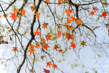 close up of autmn maple leaves