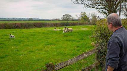 Farmer checks his flock Of Sheep in green field