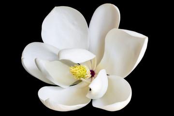 White Magnolia Flower Isolated on Black