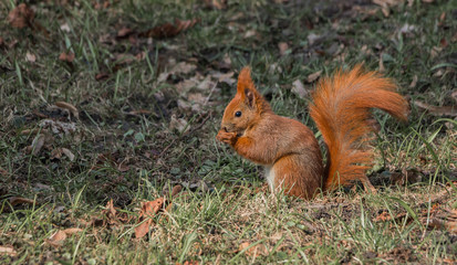 Łazienki Park Squirrel