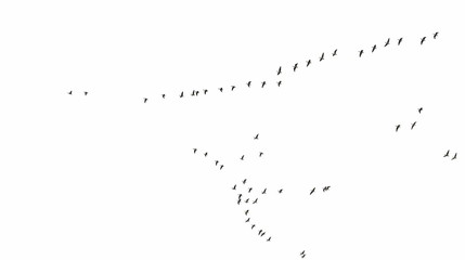 Flock of birds texture, formation White-Fronted Goose in flight, isolated on white background