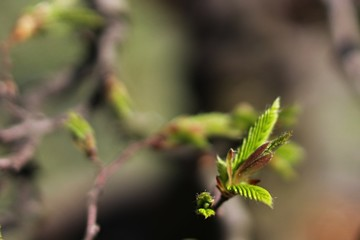 Growing fresh young leaves on hornbeam bonsai Carpinus Betulus