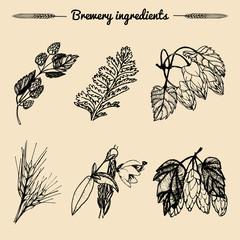 Vector set of vintage herbs elements of brewery.Hand sketched plants illustrations for beer bar,restaurant menu concepts