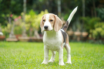 strong purebred beagle dog in action, strong male silver tri color beagle dog
