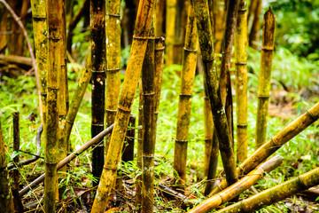 Philippine Bamboo Jungle