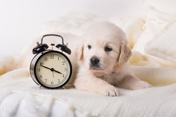 cute little golden retriever puppy with wind-up keywound alarm clock