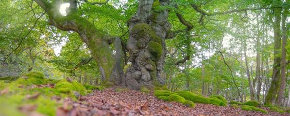 """Uralte Hutebuche, Naturdenkmal Hutewald """"Halloh"""" bei Albertshausen, Naturpark Kellerwald-Edersee, Hessen, Deutschland"""