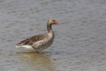 portrait of standing gray goose (anser anser) in water