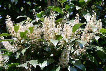 Kirschlorbeer Blüten