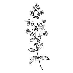 Hand drawn St. John's wort  isolated on white background. Sketch, vector illustration.