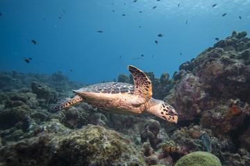 Unterwasser - Riff - Schildkröte - Karettschildkröte - Meeresschildkröte - Schwamm  - Tauchen - Curacao - Karibik