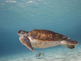 Unterwasser - Schildkröte - Suppenschildkröte - Tauchen - Curacao - Karibik