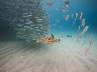 Unterwasser - Schildkröte - Suppenschildkröte -Fischschwarm - Tauchen - Curacao - Karibik