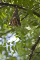A bat in Senegal sleeping in a tree