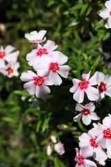 春イメージ シバザクラ