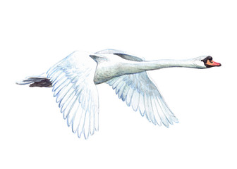 Watercolor single swan animal isolated on a white background illustration.