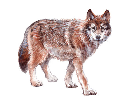 Watercolor single wolf animal isolated on a white background illustration.